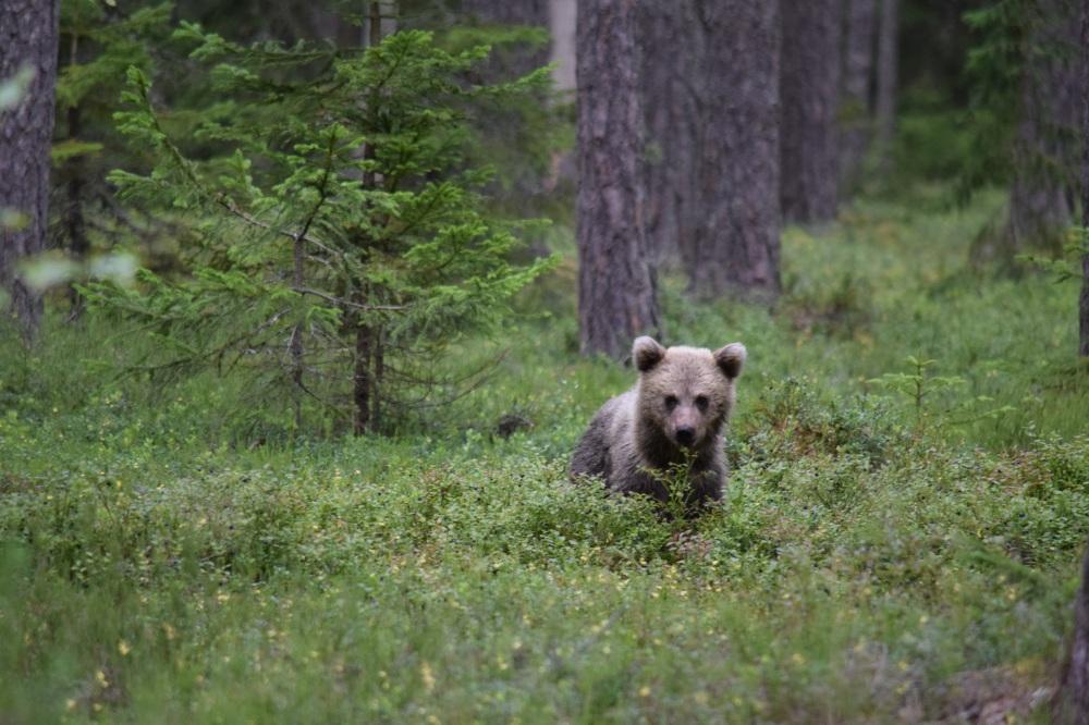 Mõmmi Esku metsas 2016 suvi autor Virpi Kosunen2.jpg